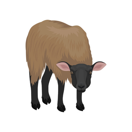 Young suffolk sheep. Farm animal with thick brown wool. Domestic creature. Livestock farming theme. Graphic element for book. Colorful vector illustration in flat style isolated on white background.