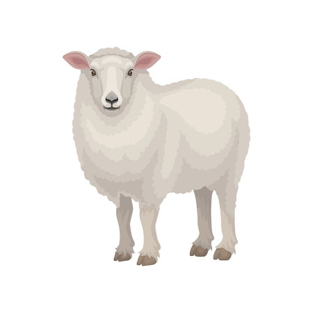 Cute East Friesian sheep standing isolated on white background. Domestic animal with thick woolly coat and pink ears. Livestock farming theme. Graphic element for book or poster. Flat vector design.