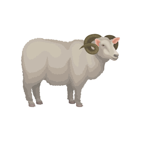 Detailed illustration of male sheep, side view. Adult ram with gray woolly coat and big curved horns. Domestic animal. Livestock farming theme. Colorful flat vector icon isolated on white background.