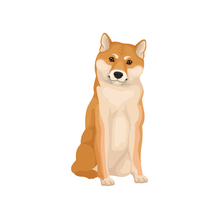 Shiba Inu sitting isolated on white background, front view. Home pet. Human s best friend. Graphic element for advertising poster or banner of zoo store. Detailed vector illustration in flat style.