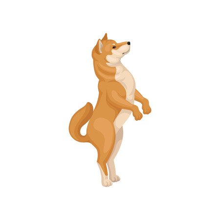 Illustration of funny Shiba Inu standing on hind legs, side view. Cute home pet. Adorable dog with red-beige coat and fluffy tail. Detailed vector icon in flat style isolated on white background.  イラスト・ベクター素材