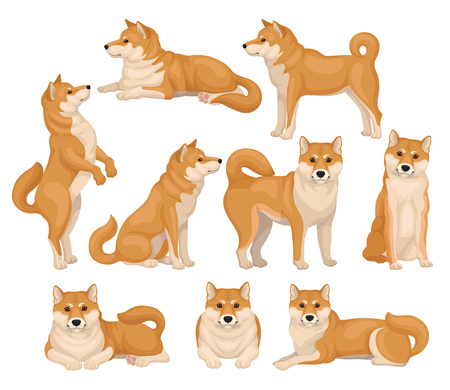 Set of cute Shiba Inu in different poses. Home pet. Adult dog with red-beige coat and fluffy tail. Domestic animal. Colorful detailed vector illustrations in flat style isolated on white background.  イラスト・ベクター素材