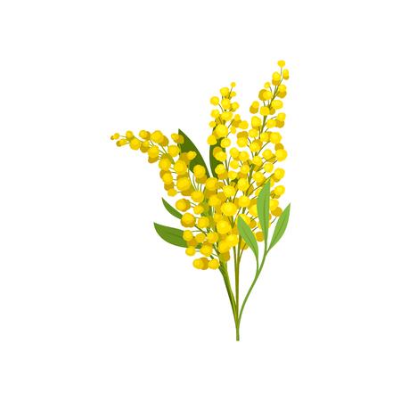 Ramo de mimosa de color amarillo brillante. Hermosas flores esponjosas. Planta de jardín. Tema de la naturaleza. Diseño gráfico para libro botánico o postal. Ilustración de vector plano detallado aislado sobre fondo blanco.