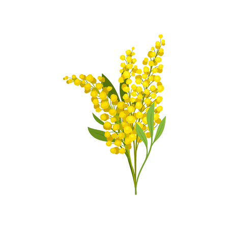 Bouquet of bright yellow mimosa. Beautiful fluffy flowers. Garden plant. Nature theme. Graphic design for botanical book or postcard. Detailed flat vector illustration isolated on white background.