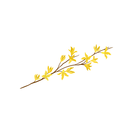 Small branch of forsythia tree with fresh yellow flowers. Spring season. Decorative graphic element for postcard or textile. Detailed vector illustration in flat style isolated on white background.