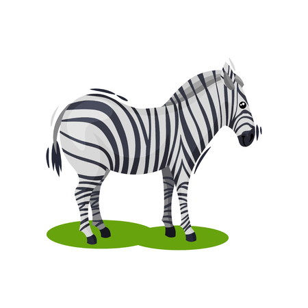 Cute zebra standing on green grass. African wild horse with black-and-white stripes. Wildlife and fauna theme. Graphic element for children book. Flat vector illustration isolated on white background.