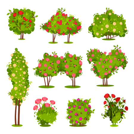 Collection of roses bushes. Flowering garden plants. Green shrubs with beautiful flowers. Landscape elements. Nature and botany theme. Colorful flat vector illustrations isolated on white background.