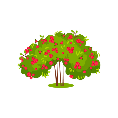 Bush of roses with bright pink petals. Flowering garden plant. Green shrub with beautiful flowers. Natural landscape element. Colorful vector illustration in flat style isolated on white background.