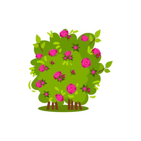 Small bush with bright pink roses. Garden plant. Green shrub with beautiful flowers. Natural landscape element. Spring or summer season. Nature and flora theme. Isolated vector design in flat style.