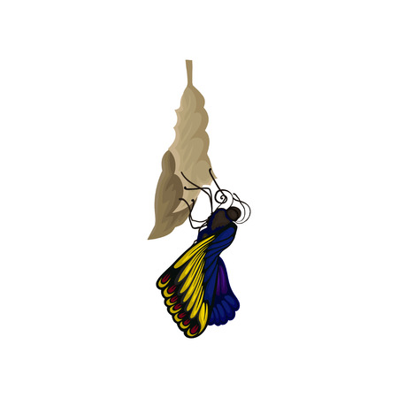 Newly born butterfly on cocoon. Beautiful flying insect with bright blue-yellow wings. Nature theme. Graphic element for educational book. Colorful flat vector design isolated on white background. Ilustrace