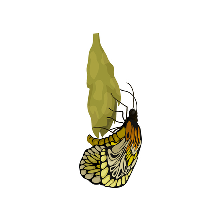 Illustration of newly born butterfly on cocoon. Beautiful flying insect. Nature and botany theme. Graphic element for entomological book. Colorful flat vector design isolated on white background. Ilustração