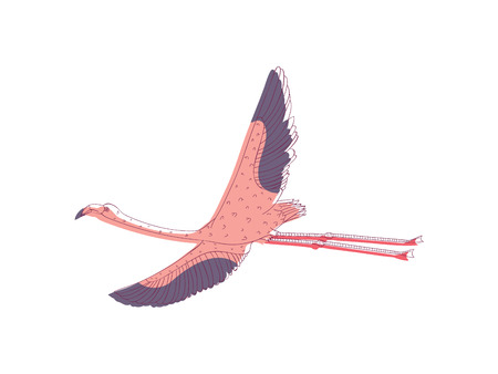 Pink flamingo in flying action with wide open wings. Tropical bird with long legs and neck. Wildlife theme. Line art with colorful fill. Hand drawn vector illustration isolated on white background.