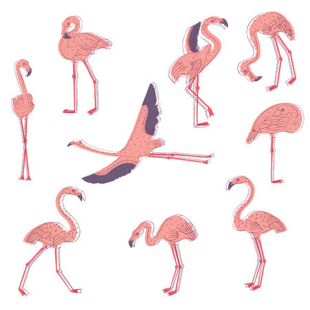 Set of pink flamingo in different poses. Exotic bird with long legs and neck. Wildlife and fauna theme. Line art with colorful fill. Hand drawn vector illustration isolated on white background.
