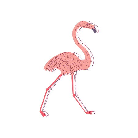 Illustration of walking pink flamingo, side view. Exotic bird with long neck and legs. Wildlife and fauna theme. Line art with colorful fill. Hand drawn vector design isolated on white background. Ilustracja