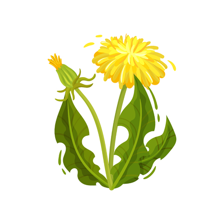 Green dandelion with bright yellow flower and closed head. Wild plant. Medical herd. Nature and botany theme. Cartoon vector design. Colorful illustration in flat style isolated on white background.