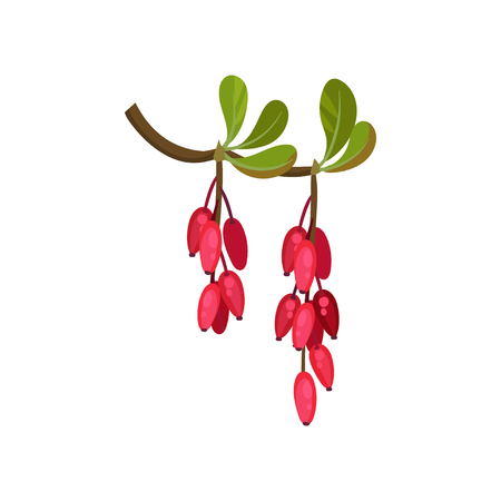 Branch of ripe barberry on white background. Cartoon ripened red berries. Natural seasonal harvest. Flora concept. Vector flat illustration.