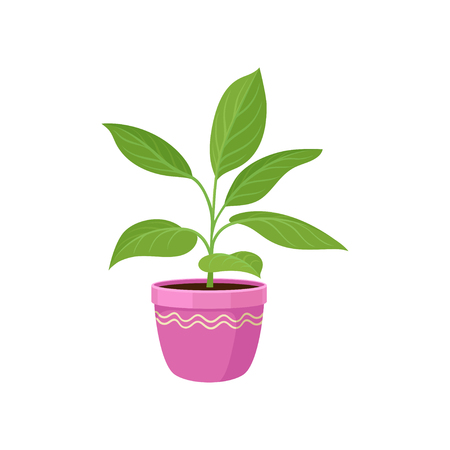 House plant in pink flowerpot on white background. Natural interior decor and houseplant. Potted flower. Flora concept. Vector flat illustration. Illustration