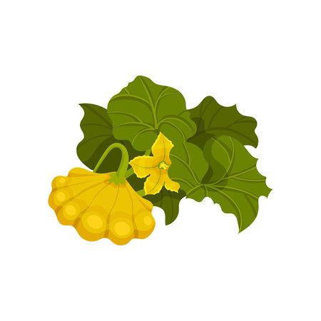 Ripened yellow patisson. Organic food. Vector illustration.