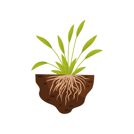 Plant with broad leaves and thin roots in the soil. Vector illustration on a white background.