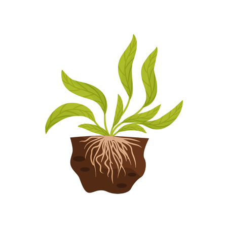 Plant with large leaves and roots in the soil. Vector illustration on white background.