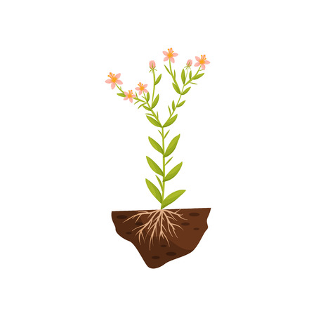 Tall plant with pink flowers, small leaves and roots in the soil. Vector illustration on white background.