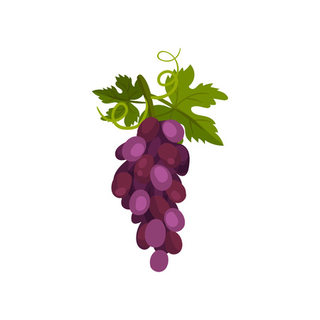 Bunch of grapes on a vine with a leaf. Vector illustration. Stock Illustratie