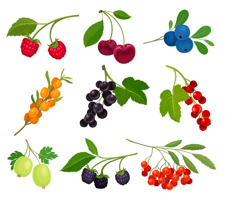 Collection of different varieties of berries on the stem with leaves. Vector illustration on white background.