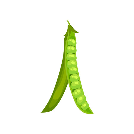 Open green pea pod hanging down. Vector illustration on white background.