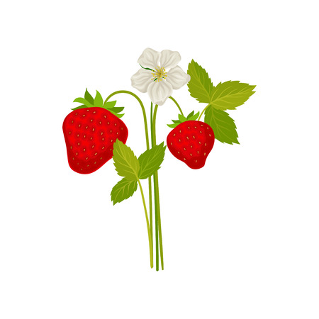 Berries and strawberry flower on the stem. Vector illustration on white background.