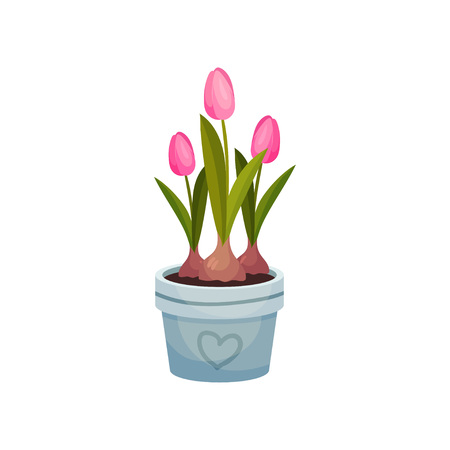 Three pink tulips grow in a blue pot. Part of the bulbs is visible from the soil. Vector image on white background. 일러스트