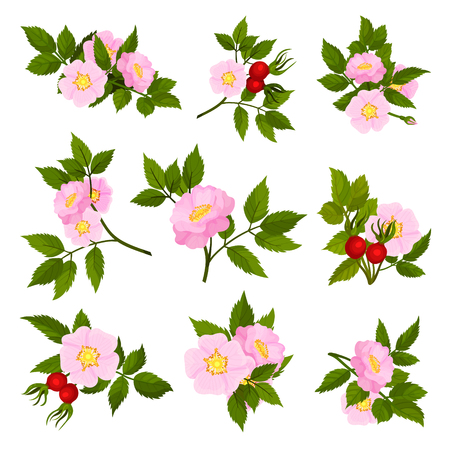 Set of images of pink flowers of wild rose. Vector illustration on white background.