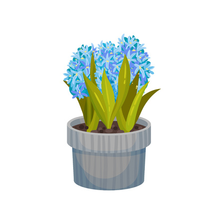 Blue hyacinths grow in a gray striped pot. Vector illustration on white background.