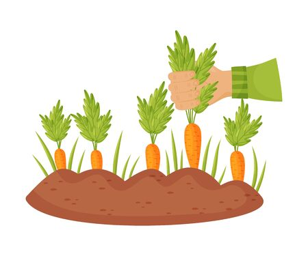 Hand in a green sleeve pulls a ripe orange carrot out of the ground. Vector illustration on a white background. Vector Illustration