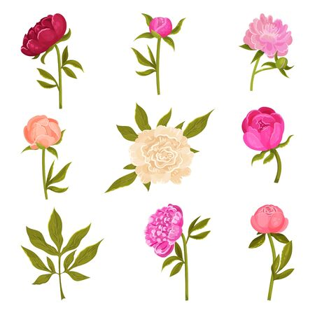 Set of peonies flowers of different shades on green stems with leaves. Vector illustration on a white background. 向量圖像