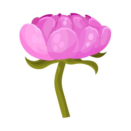 Pink peony flower with large petals on a green stem without leaves. Vector illustration on a white background.