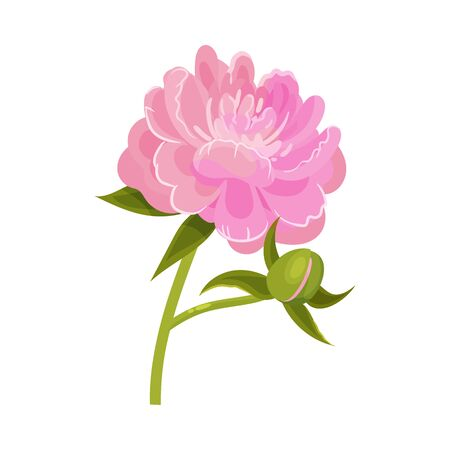 Lush pink blossoming peony next to a closed bud on a green stem. Vector illustration on a white background.