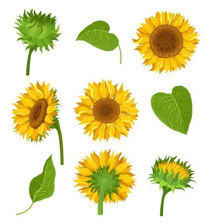 Conjunto de ilustración con girasoles, sus elementos y diferentes detalles. Flores amarillas, hojas y tallos verdes, tipos de decoración con muchas composiciones. Colores brillantes. Ilustración de dibujos animados, aislado sobre fondo blanco.