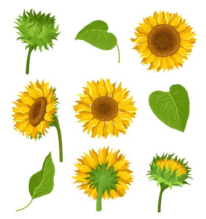 Set of illustration with sunflowers, their elements and different details. Yellow flowers, green leaves and stems, kinds of decoration with many compositions. Bright colors. cartoon illustration, isolated on white background.