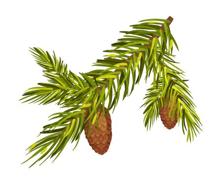 Green spruce twig with two cones separately. Christmas tree branch, New Year holiday, winter concept. Vector illustrations, isolated on white background. Ilustração