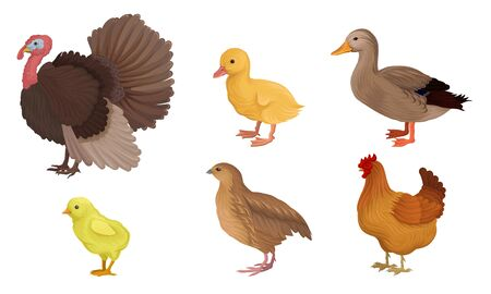 Different Kinds Of Poultry Vector Illustration Set Isolated