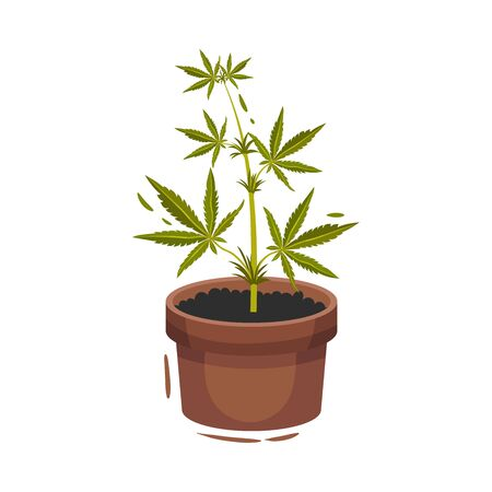 Cannabis Plant Growing In Pot Vector Illustrated Object