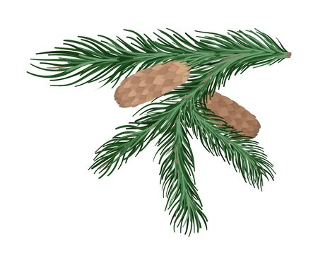Branch of spruce with thick green needles and dense brown cones. Vector illustration.