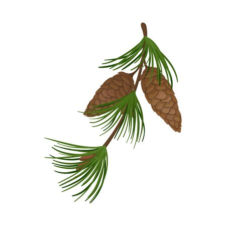 Pine branch with long dense brown cones. Vector illustration.  イラスト・ベクター素材