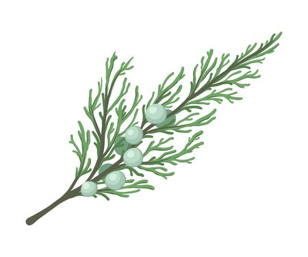 Thuja branch with sparse leaves and small green cones. Vector illustration.