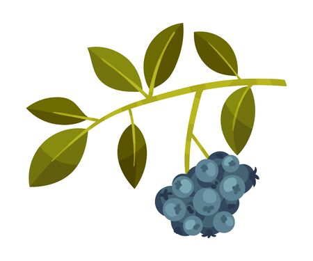 Branch with leaves and a bunch of dark blue berries. Vector illustration on a white background.