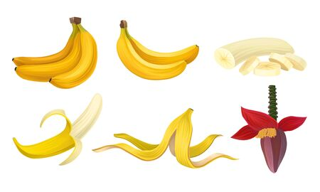 Banana Vector Set With Half Peeled Bananas and Cut Slices. Tropical Organic Fruit Concept