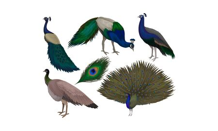 Detailed Beautiful Peacocks Vector Set. Wild Birds With Colorful Feathers. Wildlife and Fauna Theme Ilustração