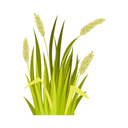 Green wheat. Vector illustration on a white background.