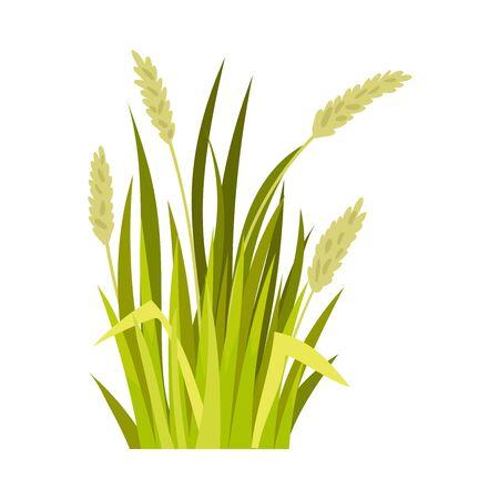 Le blé vert. Illustration vectorielle sur fond blanc.