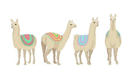 Four adult llamas in bright colorful blankets, stay in different poses. Adult animals whom fur is a raw material for highly estimated wool. Vector illustration set, isolated on white background. 일러스트